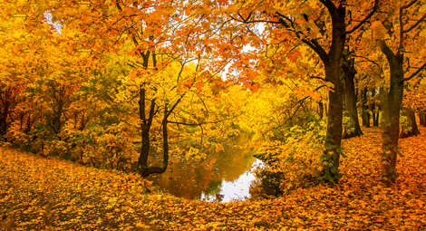 Trees turning yellow and orange with their fallen leaves on the ground around a stream