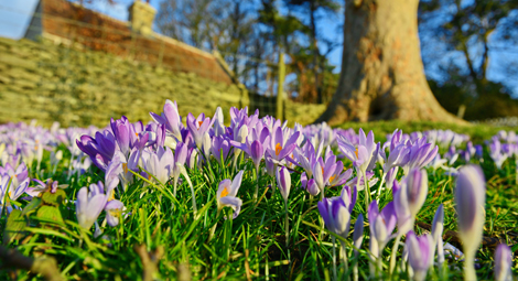 An up close image of some crocuses in a field. In the distance you can see a tree and a wall.